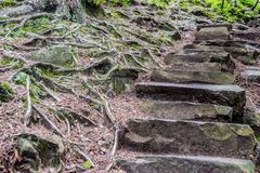 Stone trail in the woods and roots. Branching roots and stepped stone path in the forest. Dovbush rocks climbing area in Yaremche, Ukraine royalty free stock photos