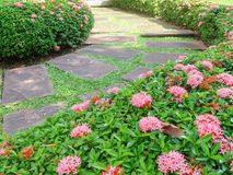 Stone Walkway with Pink west indian jasmine or Rubiaceae Bush Alongside Stock Image