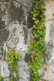 Stone Wall. With plants growing royalty free stock photo