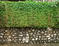 Stone wall. Green plants climbing at an old stone wall Royalty Free Stock Images