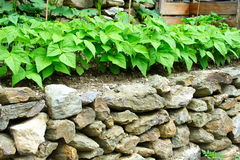 Stone Wall And Kitchen Garden Royalty Free Stock Image