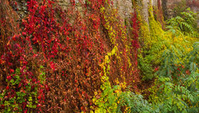 Stone wall with autumn plants. Stone wall with autumn grape and ivy plants Stock Photo