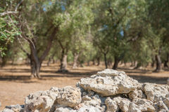 Stone wall border of olive trees field close up Royalty Free Stock Images