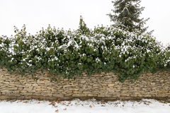 Stone wall with bushes covered in snow Stock Photos
