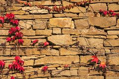 Stone wall with climbing vine Stock Photo