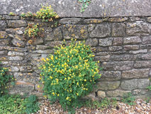 Stone wall with Corydalis lutea Stock Images