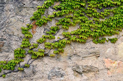 Stone wall cover with ivy. Stone wall cover with green ivy Royalty Free Stock Photography