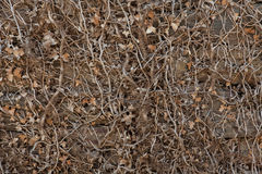 Stone wall covered with dry ivy. Royalty Free Stock Photo