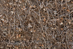 Stone wall covered with dry ivy. Stock Image