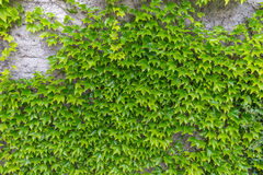 Stone wall covered with green creeper plant ivy as background Stock Photo