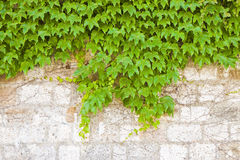 Stone wall covered in ivy Stock Photo