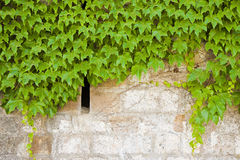 Stone wall covered in ivy Stock Photography