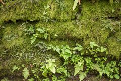 Stone wall covered with moss and ferns. As background Royalty Free Stock Image