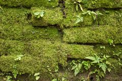 Stone wall covered with moss and ferns. As background Stock Image