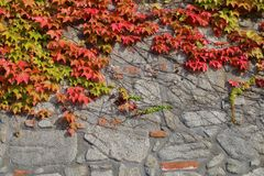 A stone wall covered with red leaves of wild grapes. Royalty Free Stock Photography
