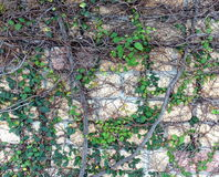 Stone Wall Covered with Vines Royalty Free Stock Photography