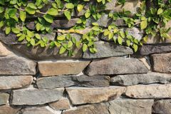 Stone Wall with Creeping Fig Vine Growing on Top. A perfect background for film or graphic design. This stone wall has a hint of creeping vine growing on top and royalty free stock images