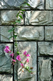 Stone wall in cyan color and pink flower. Cyan color and texture of a stone wall surface under soft light and shadow, a brach of pink flower is attached on wall Royalty Free Stock Photos