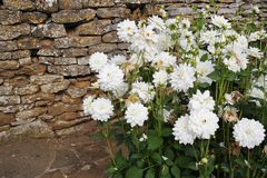 Stone wall with dahlias. Old stone wall with bunch of planted white dahlias in-front to one side bright daytime crazy paved floor Stock Photography