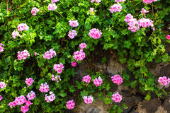 Stone wall with flowers Stock Images