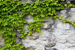 Stone wall and green ivy Stock Image