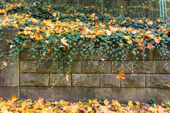Stone wall with green ivy and yellow dead leaves Royalty Free Stock Image
