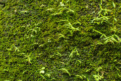 Stone wall with greenery. Texture Stock Image