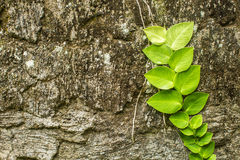 Stone wall with greenery. Texture Stock Photos