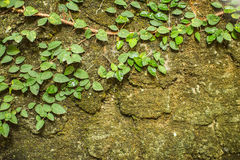 Stone wall with greenery. Texture Royalty Free Stock Image