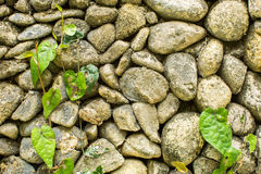 Stone wall with greenery. Texture Royalty Free Stock Photography