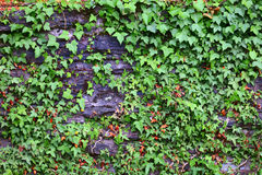 Stone wall with ivy. Lichen and moss  in small city Saarburg, Rheinland-Pfalz, Germany, summer Stock Image