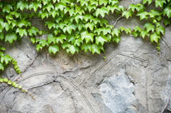 Stone wall and  ivy Royalty Free Stock Photos