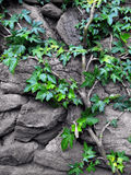 Stone wall with ivy Stock Photography
