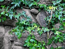 Stone wall with ivy Stock Image