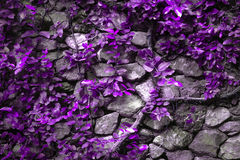 Stone wall with ivy in beautiful shades. Of purple Stock Photo
