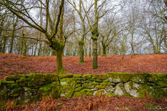 Stone wall and oak forest Stock Photos