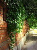 Stone wall of the old brick and ivy leaves Stock Image