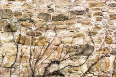 Stone wall of an old building with a dry clambering plant.  royalty free stock photography