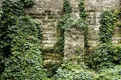Stone wall overgrown with ivy Stock Images