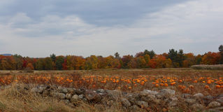 Stone Wall and Pumpkin crop in Massachusetts, New England  USA Royalty Free Stock Photos