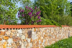 Stone wall with purple lilac bush. In sunny day Royalty Free Stock Photo