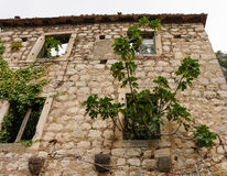 Stone wall ruins. Stone wall of a house in ruins with ivy and a fig tree growing through the windows at Kotor, Montenegro Royalty Free Stock Photography