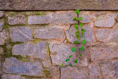 Stone wall and stem of ivy Royalty Free Stock Photos