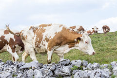 Stone wall surrounding an alpine pasture and grazing cows Royalty Free Stock Image