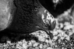 Pigeon beak close up royalty free stock image
