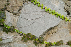 Stone wall texture with grape leafs Royalty Free Stock Images