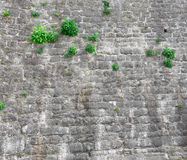 Stone wall texture. Wall made of stone blocks, with several green plant growing on it Stock Images
