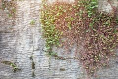 Stone wall with tree plant. Royalty Free Stock Images
