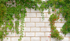 Stone wall twined a plant Royalty Free Stock Photos