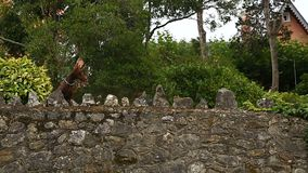 Stone wall with two playful purebred Doberman dogs guarding luxury mansion. Stock footage stock video